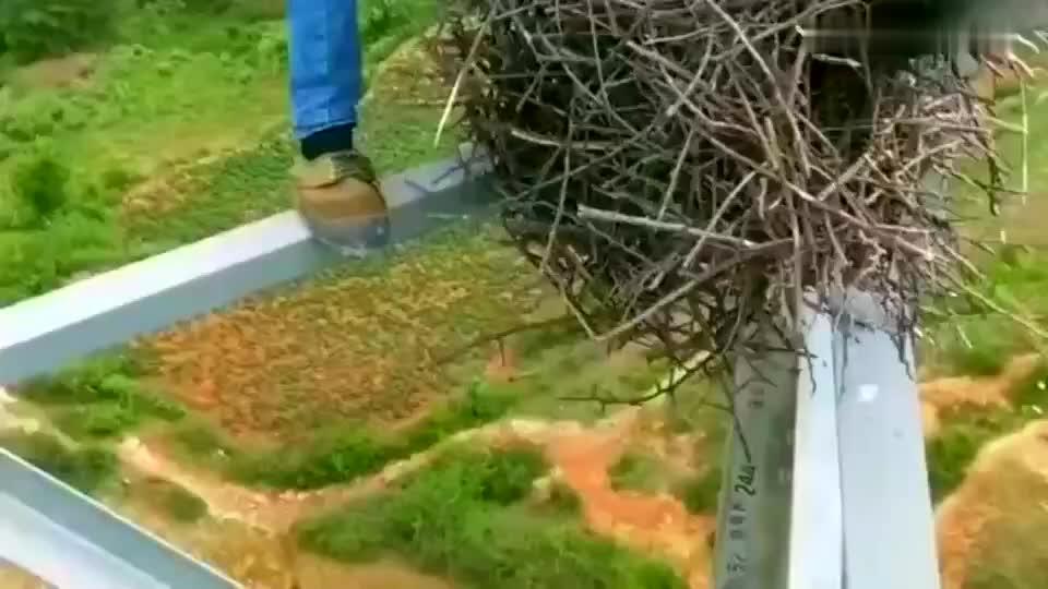 電工師傅在這里徘徊很久,不忍心把鳥窩丟下去,但又影響自己的工作!